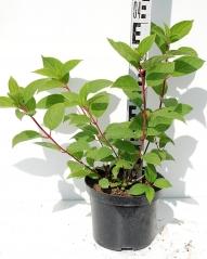 Гортензия метельчатая Вимс Ред высота растения 40см