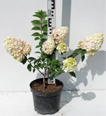 Гортензия метельчатая Сандей Фрейз высота растения 40см