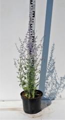 Перовския лебедолистная высота растения 50см