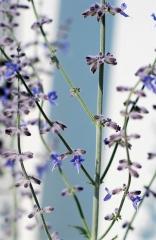 Перовския лебедолистная (цветки)