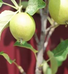 Яблоня домашняя Айдаред (плоды)