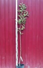 Яблоня домашня Гала высота дерева 1,6м