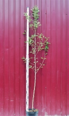 Яблоня домашняя Голден Делишес высота дерева 2м