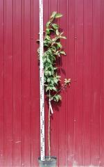 Яблоня домашняя Ренет Симиренко высота дерева 1,7м