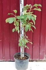 Яблоня колоновидная Останкино высота дерева 70см