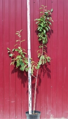 Яблоня домашняя Пинова высота дерева 1,8м