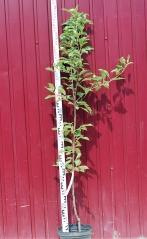 Яблоня домашняя Топаз высота дерева 1,6м