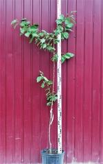 Абрикос Краснощекий высота дерева 1,6м