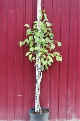 Груша обыкновенная Ноябрьская высота дерева 1,1м