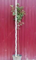 Вишня домашняя Чудо-вишня высота дерева 1,6м