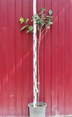Вишня домашняя Шпанка высота дерева 1,4м