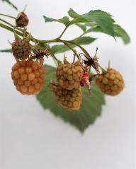 Малина домашняя Глен Ампл (плоды)