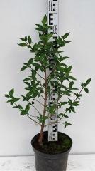 Кизил обыкновенный высота растения 55см
