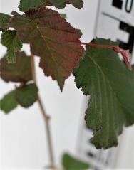 Фундук Варшавський красный окраска листа