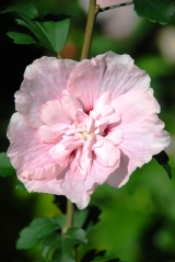 Гибискус сирийский Пинк Шифон (соцветие)