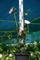 Гибискус сирийский Пинк Шифон в садовом центре