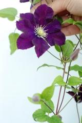 Клематис Варшавска Найк (цветок)