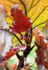 Тополь Пурпл Тауэр окраска листьев