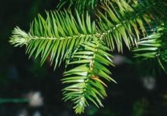 Cunninghamia lanceolata питомник растений Киев