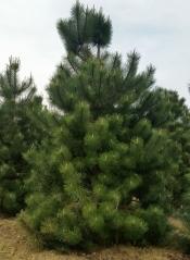 Сосна крымская <br>Pinus pallasiana