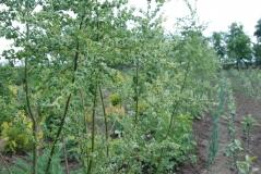 Salix babylonica Crispa