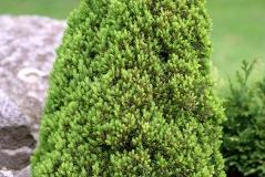 Ель канадская Лаурин Picea glauca Laurin