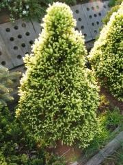 Ель канадская Рейнбоуз Энд / Picea glauca Rainbow's End