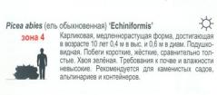 Ель Эхиниформис