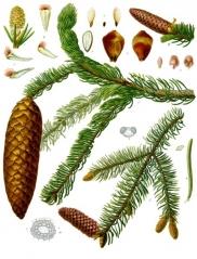 Picea abies Echiniformis купить