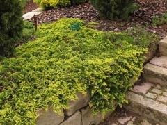 Можжевельник горизонтальный Голден Карпет <br>Ялівець горизонтальний Голден Карпет <br>Juniperus horizontalis Golden Carpet