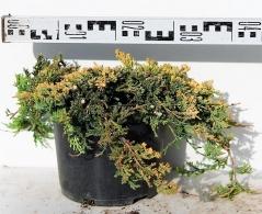 Juniperus horizontalis Golden Carpet в контейнері 5л
