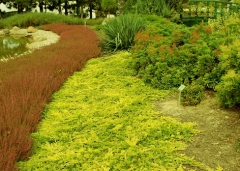 Juniperus Golden Carpet
