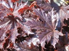 Клен остролистный Кримсон Сентри (Crimson Sentry) листья
