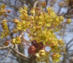 Клён Кримсон Сентри цветы