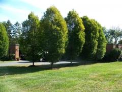 Граб обыкновенный Колумнарис Carpinum betulus Columnaris