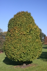 Граб betulus Columnaris
