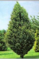 Граб обыкновенный Фастигиата Carpinus  betulus  Fastigiata