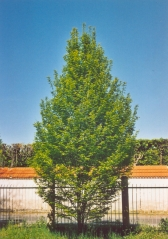Carpinus  betulus  Fastigiata фото