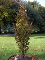 Бук лесной / европейский Dawyck Purple