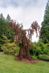 Бук лесной Purple Fountain (привитой) <br>Fagus silvatica Purple Fountain<br>Бук лісовий Purple Fountain