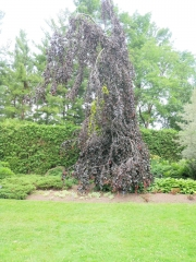 Fagus silvatica Purple Fountain купить