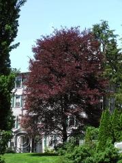 Бук лесной Розео Маргината Fagus silvatica Roseo Marginata (Триколор, Tricolor)