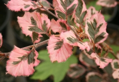 Бук лесной Roseo Marginata (Tricolor)