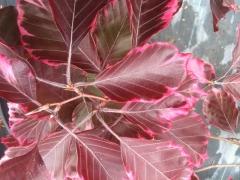 Бук silvatica Roseo Marginata (Tricolor)