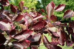 Fagus silvatica Roseo Marginata (Tricolor)