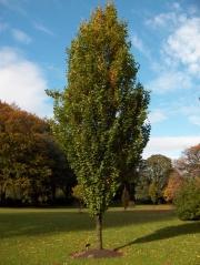 Бук лесной Дэвик Голд Fagus sylvatica Dawyck Gold