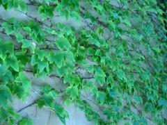 Девичий виноград триостренный Вича