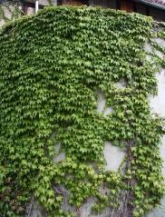 Parthenocissus tricuspidata Veitchii Киев