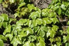 Девичий виноград триостренный Veitchii (Партеноциссус тройчатый)