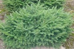 Picea abies Barryi